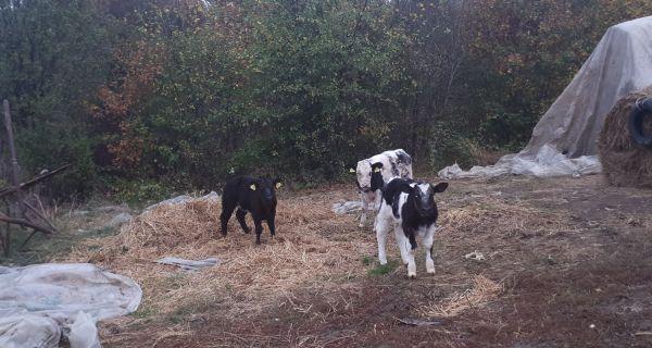 Bodibilder telad na farmi u Vranjskoj