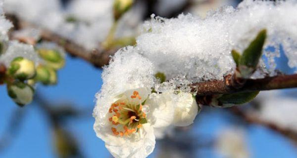 Šteta zbog mraza na voću od 40 do 50 miliona evra