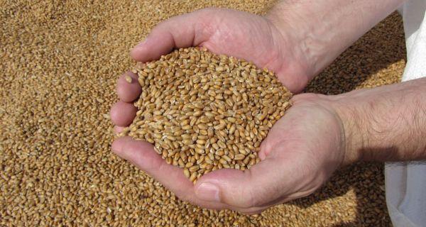 Srbija osmi izvoznik žita u svetu, postala član Međunarodnog žitarskog saveta